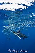 striped marlin, Kajikia audax (formerly Tetrapturus audax ), feeding on baitball of sardines or pilchards, Sardinops sagax, off Baja California, Mexico ( Eastern Pacific Ocean ) (dm)