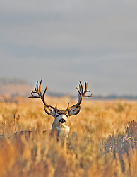 Big Trophy Nontypical Trophy Buck Mule Deer<br /> <br /> The story of this huge buck<br /> A trophy buck ~ through the years.<br /> http://daryl-hunter.net/a-trophy-buck-through-the-years