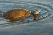 Savannah Side-necked Turtle (Podocnemis vogli) released after being found by fishermen in the river.<br /> CITES II  due to habitat loss mainly near urban areas and over hunting especially in the Llanos.<br /> Orinoco River, 110 Km north of Puerto Ayacucho. Apure Province, VENEZUELA. South America. <br /> L average 23-36cm, Wgt 2kg. Females larger than males. They dig shallow nests in sandy soil, often far from nearest water source.  7-13 eliptical eggs 40x25mm in size.<br /> They are diurnal spending sunny morning out on logs and nights in the water semi submerged in mud. They are omnivorous, consuming seeds, leaves, aquatic plants, fish, insects & suspended material in water.<br /> HABITAT: Lagoons, swamps, Moriche palm swamps, generally not preferring larger rivers.<br /> RANGE: Llanos & Orinoco of Colombia, Venezuela.