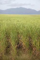 Sugar plantation near San Cristobal; Pinar Province; Cuba,