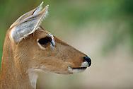 Pampas deer, Ozotoceros bezoarticus, Pantanal, Brazil
