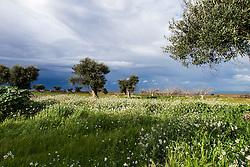 Ulivi vista mare, Polignano