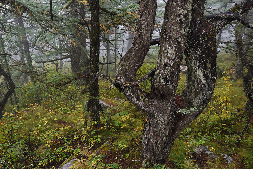 A Chinese Larch, Larix chinensis, in the afternoon mist at Mount Taibaishan Nature reserve, Shaanxi, China
