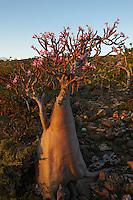 Yemen, ile de Socotra, Rose du desert Socotra, Adenium Obesum ssp. Sokotranum // Yemen, Socotra island, Rose of Desert, Adenium Obesum ssp. Sokotranum
