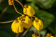 A yellow flower of Calceolaria biflora (slipperwort, lady's purse, or slipper flower). Location: Pampa Linda, Nahuel Huapi National Park, near Bariloche, Lake District of Argentina, southern Andes, in the Patagonia region of South America. Calceolaria is a genus of plants in the family Calceolariaceae. Calceolaria consists of about 388 species of shrubs, lianas, and herbs, with a geographical range extending from Patagonia to central Mexico, with its distribution center in the Andean region. Calceolaria species have usually yellow or orange flowers, which can have red or purple spots.