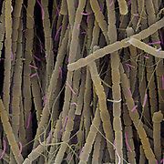 Scanning electron microscope (SEM) image of a hot spring extremophile community. The field of view is 45 um. This community thrives in 75C water in the hills of New Mexico. The community is made up of purple Sulfur bacteria, algae, and unidentified protozoa. The image was false colored with Photoshop since SEM images are inherently black and white.