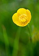 Buttercup, England