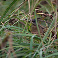 A bird hides in grass on Carcass Island in Britain's Falkland Islands.