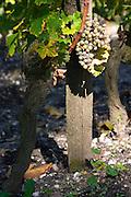 semillon vineyard chateau guiraud sauternes bordeaux france
