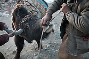 A Painful process: before departure, a leading rope (= a rope used to lead the yak) is passed through the nostrils of the yak.  In Boraq..Trekking up to the Little Pamir with yak caravan over the frozen Wakhan river.