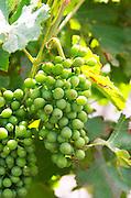 Unripe grapes. Syrah. Domaine Piquemal, Espira de l'Agly, Roussillon, France