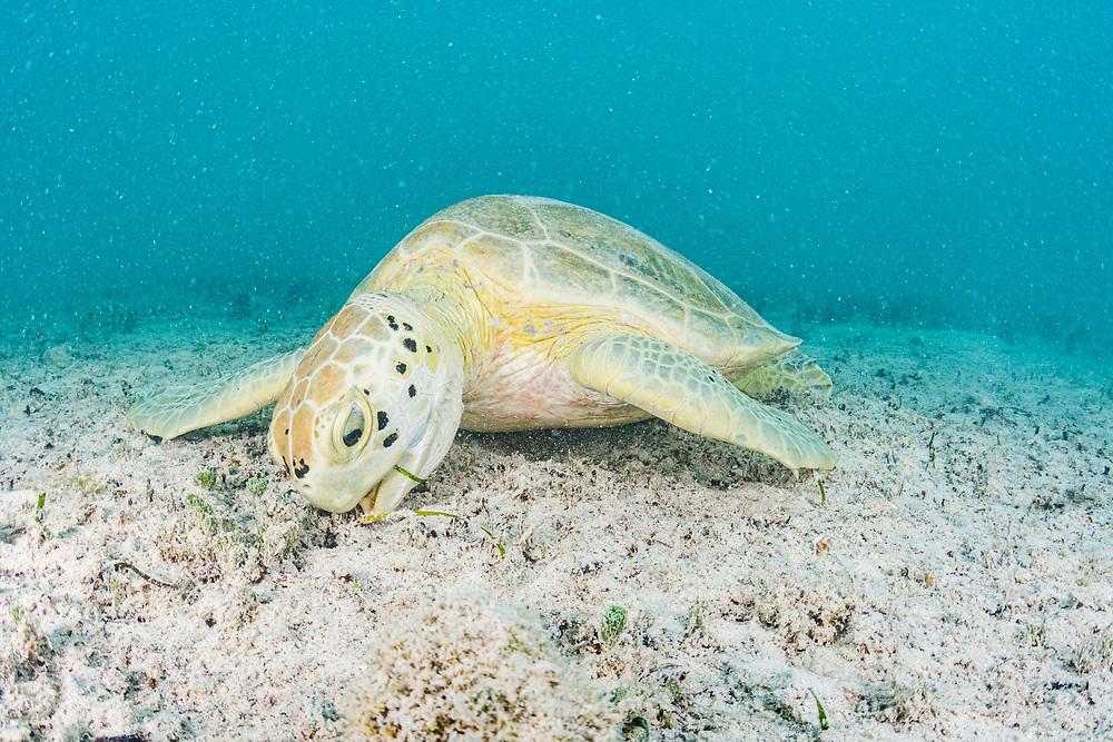 A green sea turtle (Chelonia mydas) feeding in the waters of Bermuda.