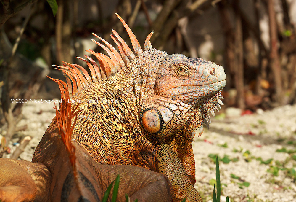 This large male reptile (iguana iguana), 5 feet in length and orange, turns to face the camera in the jungle of Cozumel, Quintana Roo, Mexico.