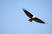 Thursday 14th August 2014: A brahminy kite (Haliastur indus) in flight.