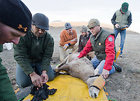 Biologists prepare a captured big horn sheep for collaring after the animal was netted from a helicopter last week on the National Elk Refuge. About a dozen sheep were captured as part of a study of various Wyoming big horn herds.