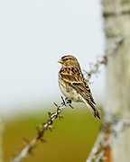 Twite, Carduelis flavirostris, on barbed-wire fence, Sanday, Orkney, Orkney Isles.<br /> adult; portrait; one; lone; alone; single; perch; perched;<br /> bright; look; looking; alert; animal; animals; bird; birds; finc<br /> finches; rural; field; fields; farm; farmland; w
