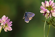 Common Blue Butterfly, Polyommatus icarus, male in flight, high speed photographic technique, flying over crown vetch, coronilla varia, pink flower, blue wing colour produced by diffraction of sunlight on corrugates scales which absorb all colours of specturm except blue, wings contain no blue pigment.United Kingdom....