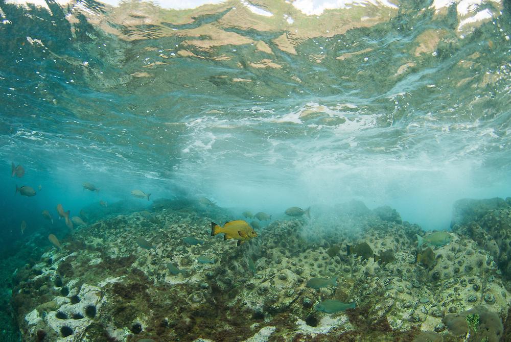 Kermadecs Marine Reserve Endemic Kermadecs Giant Limpet, Patella kermadecensis. Caramel Drummer, Girella fimbriata