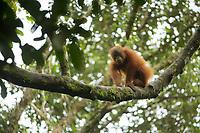 "Bornean Orangutan <br />Wurmbii Sub-species<br />(Pongo pygmaeus wurmbii)<br /><br />Juvenile male ""Benny"" age approx 5.<br />Son of ""Beth""<br /><br />Gunung Palung Orangutan Project<br />Cabang Panti Research Station<br />Gunung Palung National Park<br />West Kalimantan Province<br />Island of Borneo<br />Indonesia"