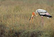 Painted storks or Ibis storks, Mycteria leucocephala, Pulicat Lake, Tamil Nadu, India