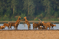 A big herd of Père David's deer, or Milu, Elaphurus davidianus, two females fighting on the shore of the Yangtze river in the Hubei Tian'ezhou Milu National Nature Reserve, Shishou, Hubei, China. The dominant harem-keeping stag in the herd.
