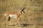 Pronghorn buck, Antilocapra americana, Montana, USA, species of artiodactyl mammal native to interior western and central North America