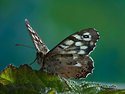 Speckled Wood Butterfly, (Pararge aegeria) on Bramble (Rubus fructicosus) leaves, Kent UK