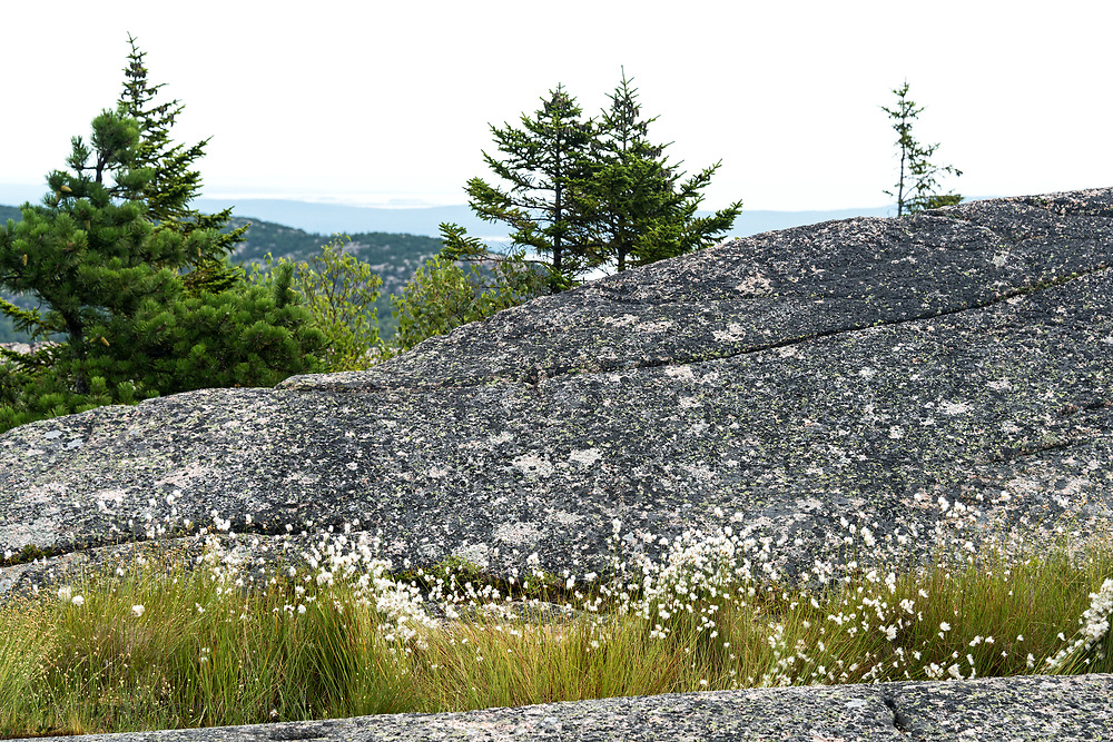 Alpine bog with Cotton-Grass in bloom on the South Ridge trail of  Cadillac Mountain, Acadia National Park, Maine, USA.
