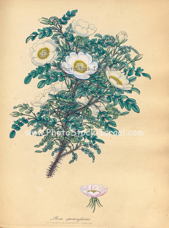 ROSA spinosissima, Thorny Rose From the book Roses, or, A monograph of the genus Rosa : containing coloured figures of all the known species and beautiful varieties, drawn, engraved, described, and coloured, from living plants. by Andrews, Henry Charles, Published in London : printed by R. Taylor and Co. ; 1805.