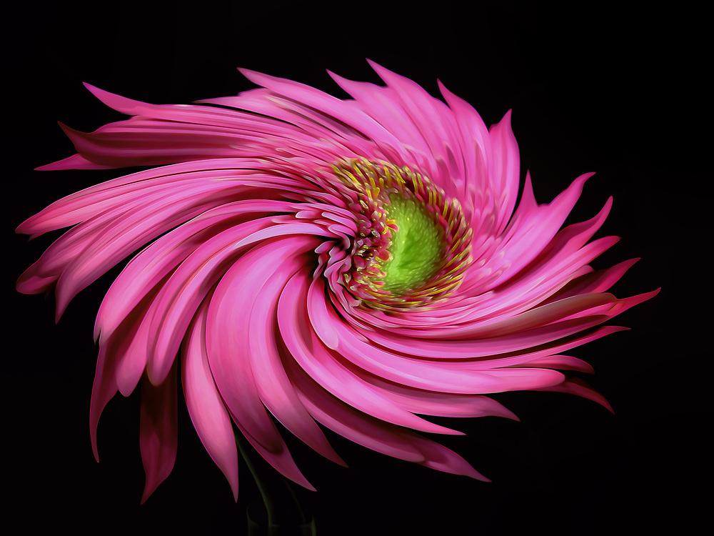 A Pink Gerbera Daisy Twirls In A Petaled Ballet Dance