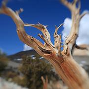 Bristlecone Pine - White Mountains, CA - Lensbaby