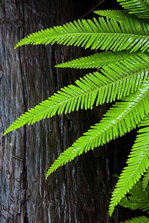 A closeup of green wet fern leaves against a dark log. Northbrook Gorge, D'Aguilar National Park.