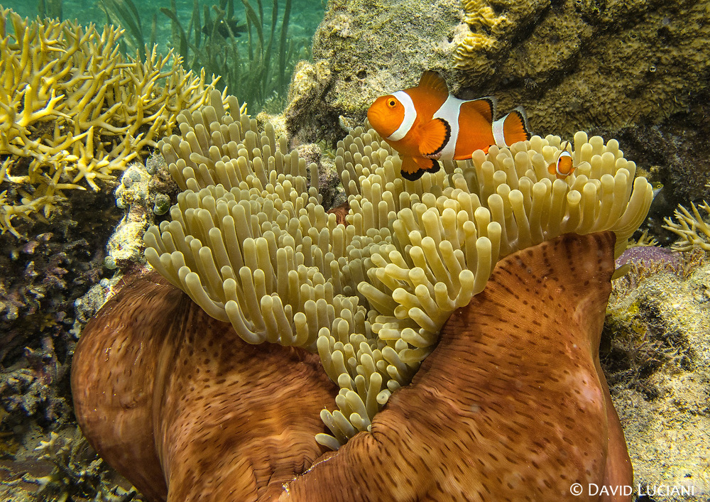 Adult and juvenile clownfishes (Amphiprion ocellaris) swimming around a sea anemone. Seen while snorkelling off the beach on Seraya Island.