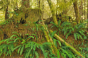 Ferns and forest at Botanical Beach (Formerly Botanical Beach  Provincial Park), Juan de Fuca Provincial Park, British Columbia, Canada