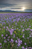 Meadows of Common Camas (Camassia quamash) Stanley Basin Sawtooth Mountains Idaho