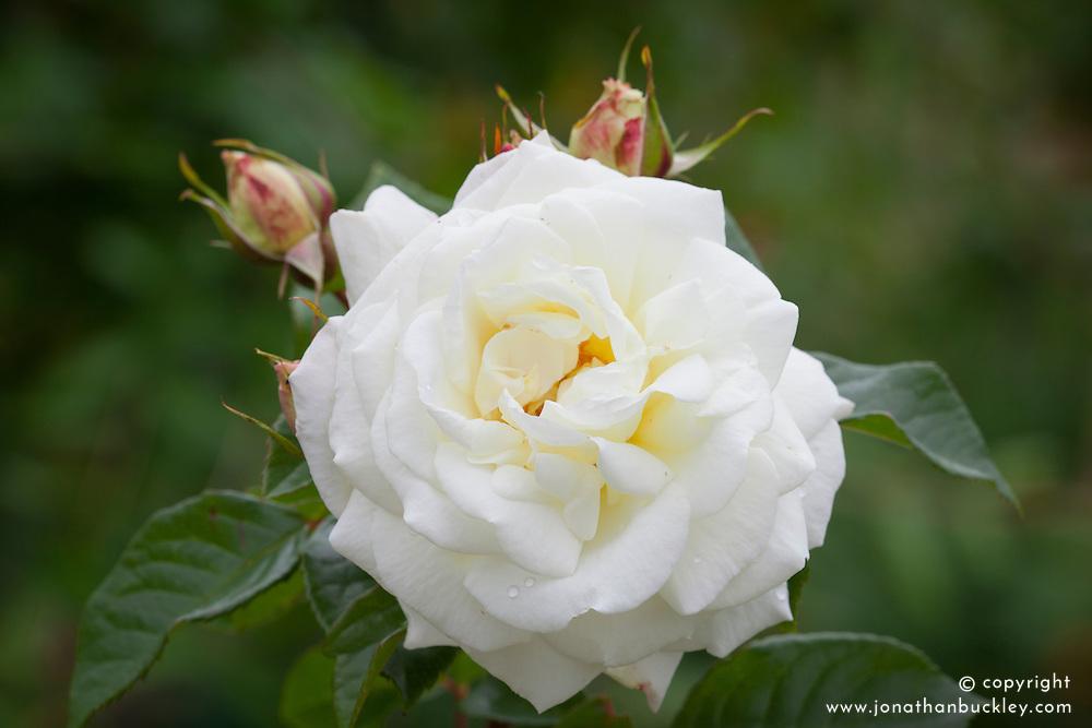 Rosa White Gold = 'Cocquiriam' AGM