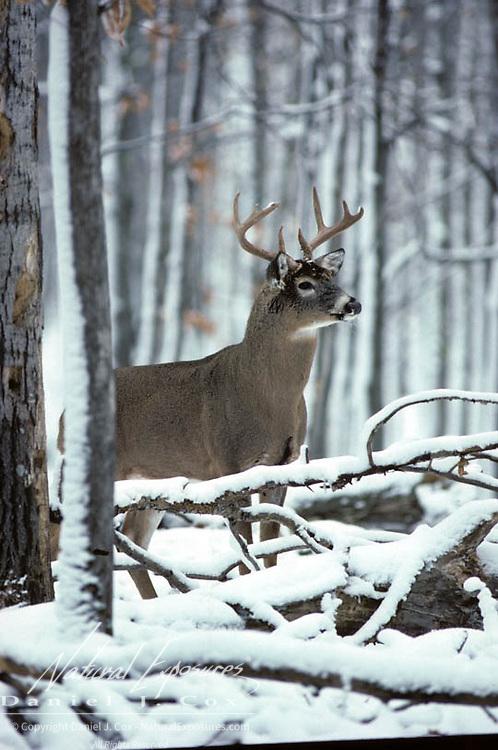 Whitetail Deer, (Odocoileus virginianus) Buck in fall rut. Late Fall. Wisconsin.