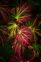 Autumn verigated Japanese Maple Leaves.