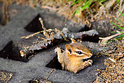 """This eastern chipmunk (Tamias striatus) built its home below a sewer grate in Mount Auburn Cemetery, Cambridge, Massachusetts.  They generally construct underground nests with extensive tunnel systems, and several entrances.  To hide the construction of its burrow, the eastern chipmunk carries soil away from its hole in its cheek pouches.  <br /> <br /> The eastern chipmunk is the sole living member of the chipmunk subgenus Tamias, and is found only in eastern North America.  The name """"chipmunk"""" is derived from the Algonquian language meaning """"one who descends trees headlong.""""  <br /> <br /> The eastern chipmunk reaches 30 cm (12 in) in length including the tail, with a weight of 66–150 g (2.3–5.3 oz).  Interestingly, it has two fewer teeth than other chipmunks and four toes each on the front legs, but five toes on each of the hind legs.  They are mainly active during the day, consuming bulbs, seeds, fruits, nuts, green plants, mushrooms, insects, worms, and bird eggs.  <br /> <br /> The eastern chipmunk leads a solitary life, except during mating season. Females usually produce one or two litters of three to five young, usually from February to April and/or June to August. On average, eastern chipmunks live three or more years in the wild, although in captivity they may live up to eight years."""
