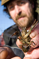 Reseach scientist examing a native White Clawed Crayfish with eggs