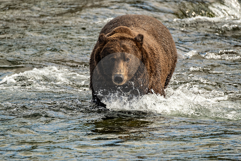 A very large dominate male Brown Bear known as 32 Chunk, climbs up Brooks Falls searching for salmon in Katmai National Park and Preserve September 16, 2019 near King Salmon, Alaska. The park spans the worlds largest salmon run with nearly 62 million salmon migrating through the streams which feeds some of the largest bears in the world.