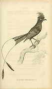 Drongo Bird (Dicrurus Malabaricus) , from volume XIII (Aves) Part 2, of 'General Zoology or Systematic Natural History' by British naturalist George Shaw (1751-1813). Griffith, Mrs., engraver. Heath, Charles, 1785-1848, engraver. Stephens, James Francis, 1792-1853 Published in London in 1825 by G. Kearsley