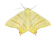 70.243 (1922)<br /> Swallow-tailed Moth - Ourapteryx sambucaria