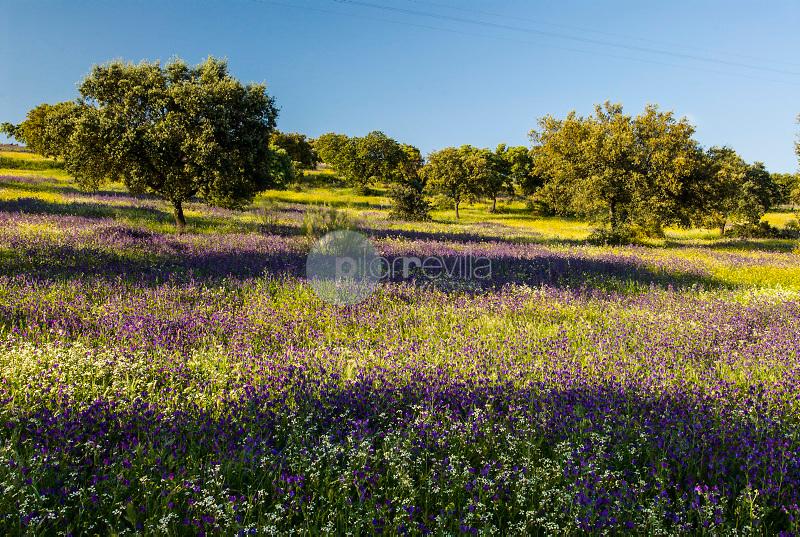 Dehesa de encinas y flores-Aljucén-Badajoz-Ruta de la Plata