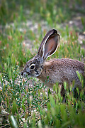 black-tailed jackrabbit (Lepus californicus) browsing on greens. high-desert, Central Oregon.
