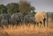 African elephants in the Luangwa River National Park, Zambia, Africa