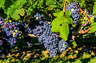 Grapes on the VInes, Wolffer Estate Vineyards, Sagaponack, Long Island, New York