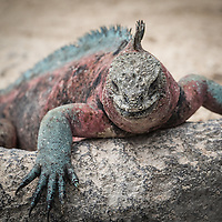 Amblyrhynchus cristatus, Española Island, Galapagos, Ecuador. This island's iguanas are particularly colorful.