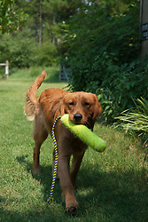 Young golden retriever carrying his fetch toy