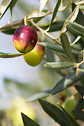 An olive green and purple on an olive tree branch. Domaine la Monardiere Monardière, Vacqueyras, Vaucluse, Provence, France, Europe